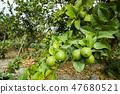 close-up of green lemon fruit on a lemon tree 47680521