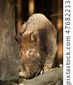 Euroasian wild pig, young adult - Sus scrofa 47682213