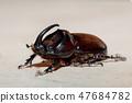rhinoceros beetle Madagascar wildlife 47684782