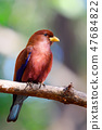 Bird Broad-billed Roller Madagascar wildlife 47684822