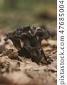 Close up of edible horn of plenty mushroom  47685004