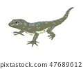 Lizard isolated on white background 47689612
