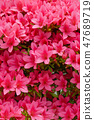 Satsuki · azalei pink 47689719