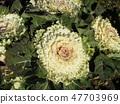 สมาคมดอกไม้ Kojama White Habotan ในทุ่งดอกไม้ 47703969