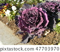 สมาคมดอกไม้โคฮามะสีม่วงฮาโบทันในทุ่งดอกไม้ 47703970