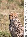탄자니아 세렝게티 국립 공원 치타 47704781