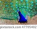孔雀【動物和鳥類】 47705402
