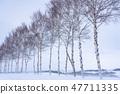 """冬天""""北海道""""美瑛和白樺樹""""靠近七星樹"""" 47711335"""