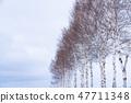 """冬天""""北海道""""美瑛和白樺樹""""靠近七星樹"""" 47711348"""