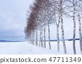 """冬天""""北海道""""美瑛和白樺樹""""靠近七星樹"""" 47711349"""