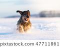 dachshund hound dog in freezy winter time 47711861