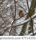 Colorful Hawfinch bird in a tree by wintertime 47714203