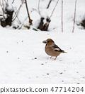 Beautiful Hawfinch on a snowy ground 47714204