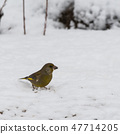 Greenfich bird finding food on the ground 47714205