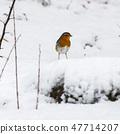 Red Robin in winter season 47714207