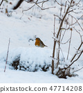 Little red Robin on a snowy ground 47714208