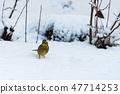Yellow sparrow in winter season 47714253