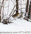Robin bird on snowy ground 47714255