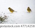Sparrows on a snowy ground 47714258