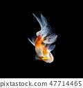 goldfish isolated on a dark black background 47714465