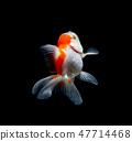 goldfish isolated on a dark black background 47714468