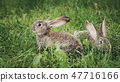 Two grey rabbits sitting in the grass 47716166