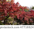 Autumn leaves of Fuchu's forest park 47716924