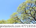 與新綠色的一棵大樹 47719356