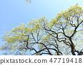 鮮綠色是一棵美麗的大樹對比 47719418