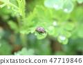 尋找喜愛的蚜蟲的瓢蟲夫人以綠色 47719846