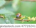 尋找喜愛的蚜蟲的瓢蟲 47720241