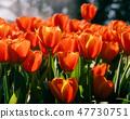 Fresh orange tulips in the garden. 47730751