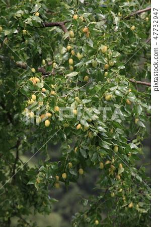 대추나무 47732947