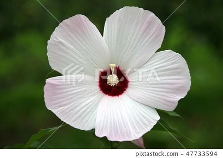 Bouillon flower 47733594