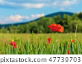 blooming red poppy flower in the field 47739703