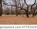 요요 기 공원의 숲의 단풍 단풍 나무 47743426