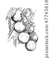 Hand Drawing of Ripe Tomatoes Growing on Branch 47743619