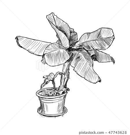 Hand Drawing of Banana Tree in Large Pot 47743628