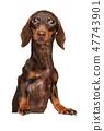 Brown Dachshund puppy above banner 47743901