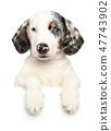White Dachshund puppy above banner 47743902