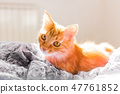 Cute ginger cat lying in bed. Fluffy pet 47761852