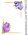 Bouquets of crocuses are drawn by hand. 47766315
