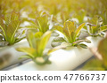 vegetables grown in hydroponics grow very well. 47766737