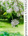 Branch of blossoming apple-tree, spring 47768852