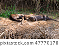 Giant otter from Pantanal, Brazil 47770178