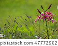 Pink lily in the garden. 47772902