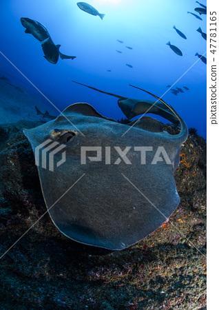 雷蜇在海裡游泳 47781165