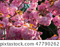 background of sakura buds 47790262