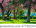 sakura blossom in the park 47790264