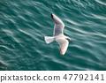 바다위를 나는 갈매기(붉은부리갈매기) 47792141